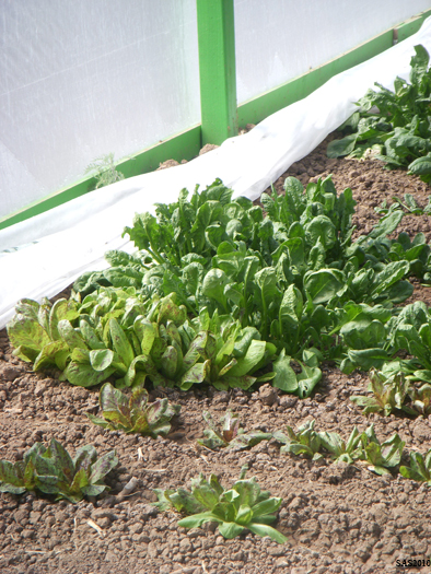 Image of ...Hoop House Project, Close up of Lettuce and Spinach