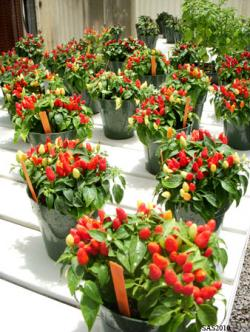 Image of ...Ornamental Chiles