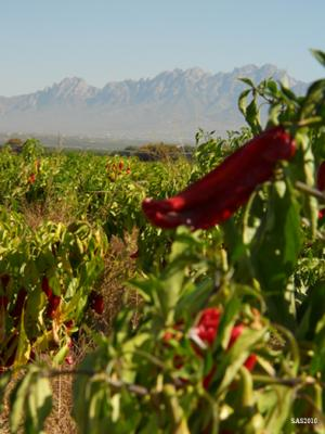 Image of ...Chile Peppers and the Organ Mountains